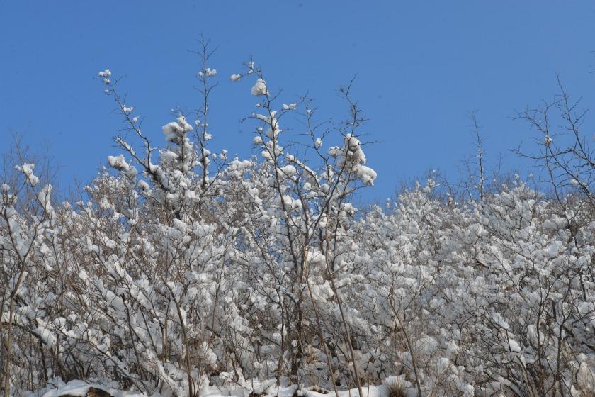 雪作玉兰4