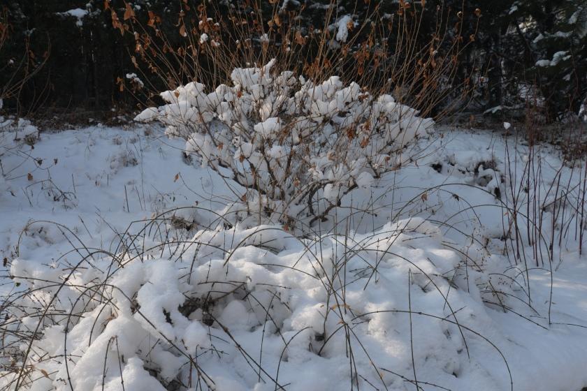 雪作玉兰8